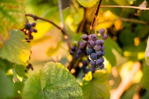Purple grape clusters on the vine ready for picking